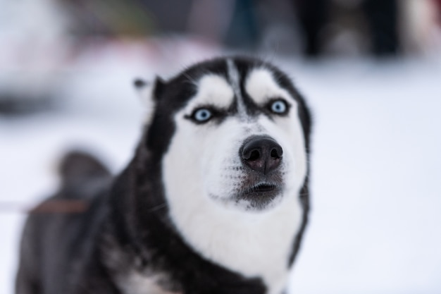 Funny husky dog portrait, winter snowy . kind obedient pet on walking before sled dog training. beautiful blue eyes.