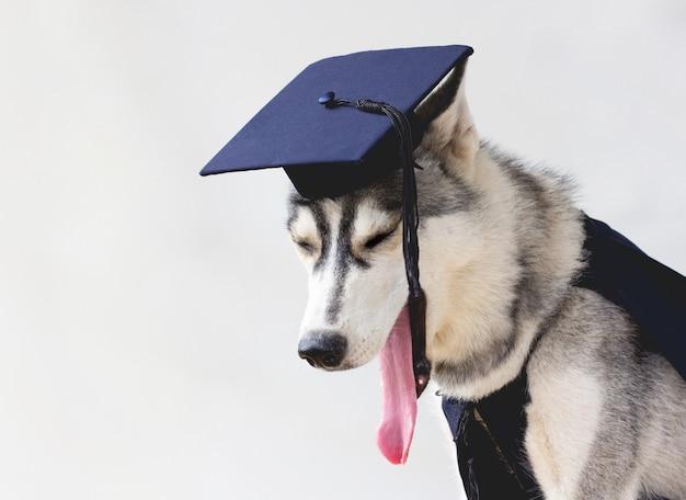 The funny husky dog student