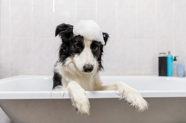 욕조에 앉아 강아지 보더 콜리의 재미있는 실내 초상화는 샴푸로 샤워하는 거품 목욕을 가져옵니다.
