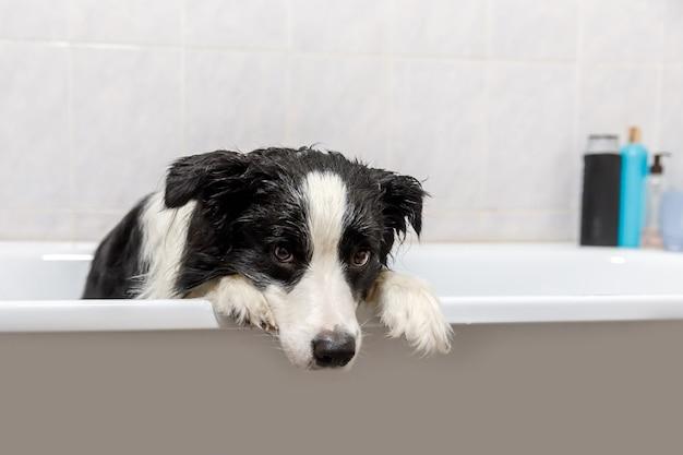 お風呂に座っている子犬の犬のボーダーコリーの面白い屋内の肖像画は、シャンプーでシャワーを浴びて泡風呂を取得します