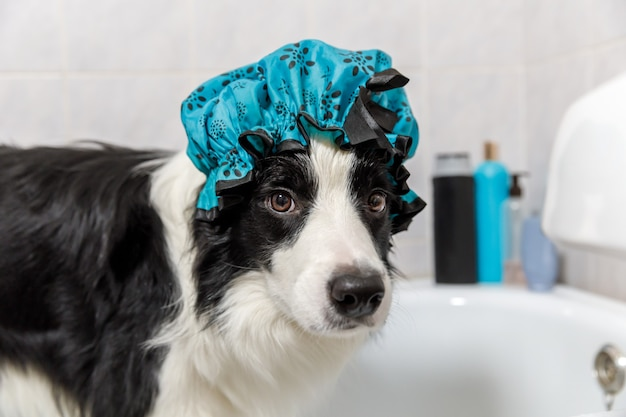 お風呂に座っている子犬の犬のボーダーコリーの面白い屋内の肖像画は、シャワーキャップを身に着けている泡風呂を取得します