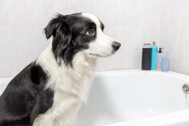 Funny indoor portrait of puppy dog border collie sitting in bath gets bubble bath showering with shampoo. cute little dog wet in bathtub in grooming salon. dirty dog washing in bathroom.