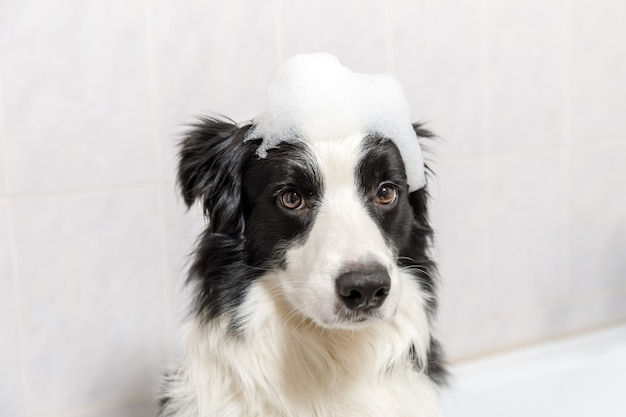 Funny indoor portrait of puppy dog border collie sitting in bath gets bubble bath showering with shampoo.