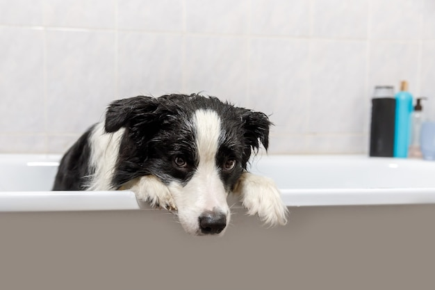 Funny indoor portrait of puppy dog border collie sitting in bath gets bubble bath showering with shampoo