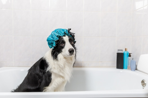 Funny indoor portrait of puppy dog border collie sitting in bath gets bubble bath wearing shower cap.