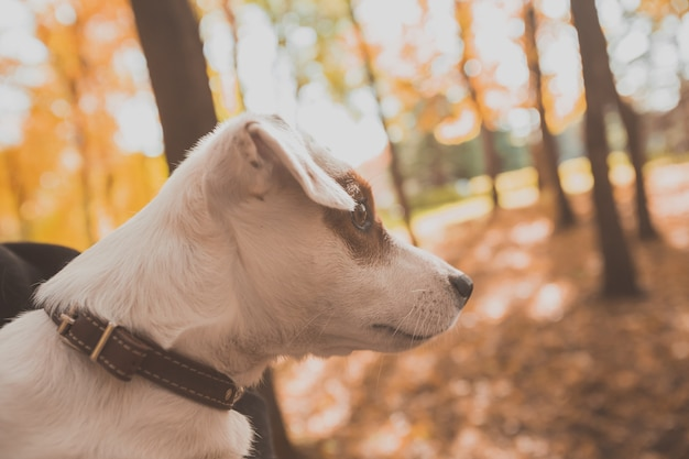 秋の自然の中で面白いジャックラッセルテリア犬の肖像画。ペットと純血種の動物の概念