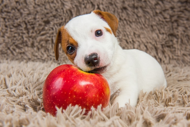 Funny jack russell terrier dog puppy are lying with red apple.