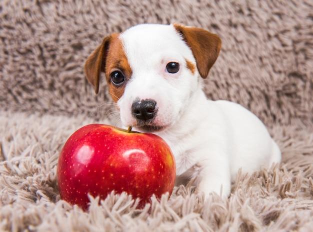 面白いジャックラッセルテリア犬の子犬は赤いリンゴと嘘をついています。