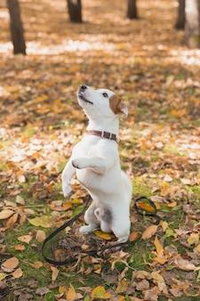 Забавная собака джек-рассел-терьер стоит на задних лапах в осенних листьях концепции обучения домашних животных