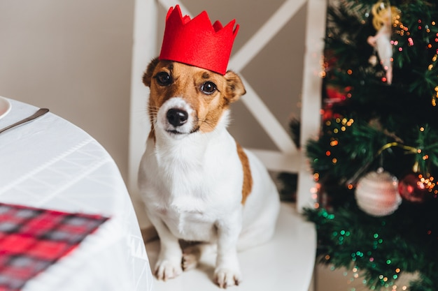 Funny jack russell terrier with red crown poses against decorated new year tree