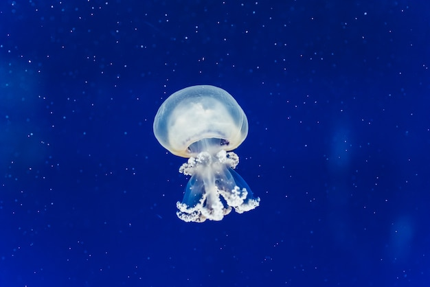 Funny jelly white jellyfish travel slowly inside a seawater tank.