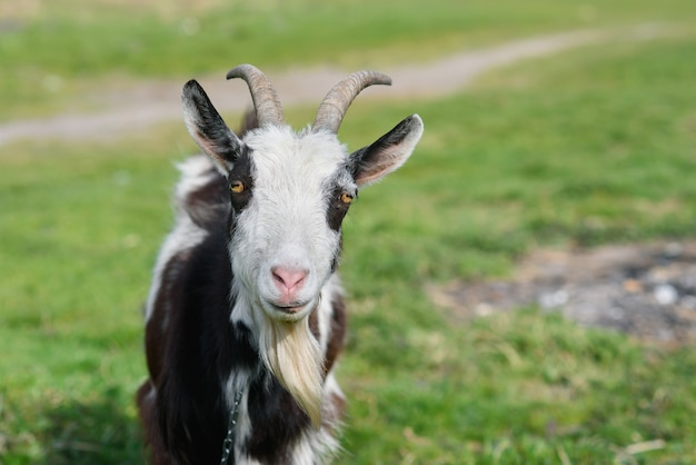 Funny joyful goat grazing on a green grassy lawn. close up portrait of a funny goat. farm animal. the goat is looking at the camera.