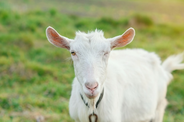 Funny joyful goat grazing on a green grassy lawn. close up portrait of a funny goat. farm animal. a white goat is looking at the camera with great interest.