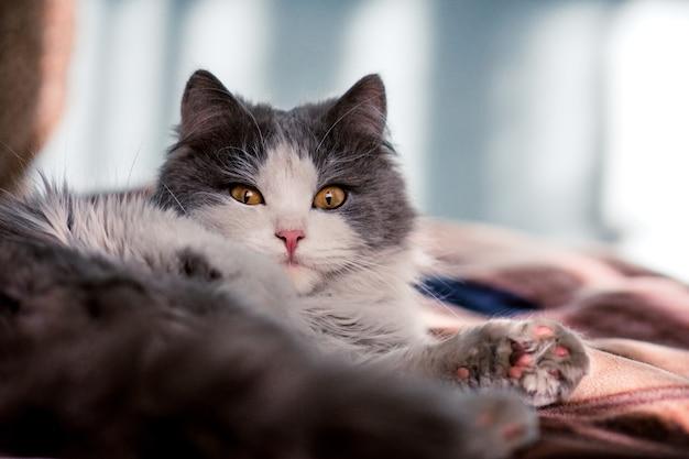 家で面白い子猫。白と灰色の長髪の猫。リビングルームに座っている猫