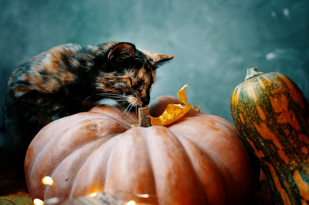 Funny kitten is studying a large ripe pumpkin with interest two pumpkins orange and yellowgreen on a...