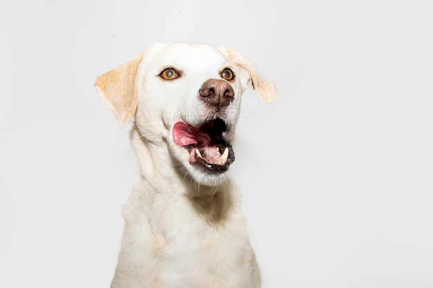 Funny labrador retriever licking its nose with tongue out. isolated on gray background.