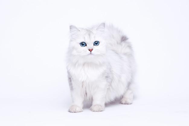 아름 다운 큰 눈을 가진 재미있는 큰 상아탑에 틀어 박힌 흰색 귀여운 새끼 고양이.