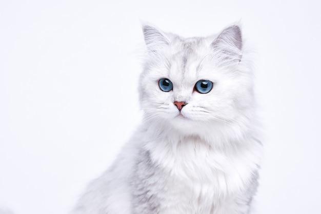 Забавный большой длинношерстный белый милый котенок с красивыми голубыми глазами.