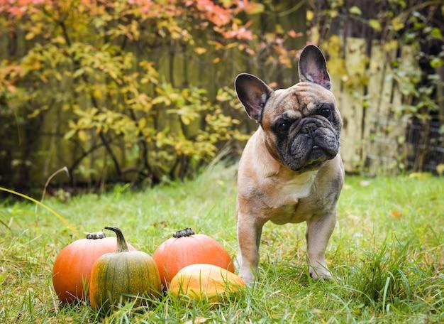 Забавный светлый французский бульдог и тыква на хэллоуин