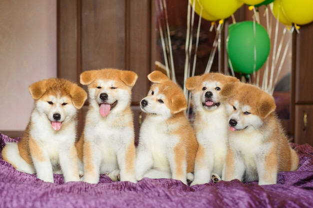 Funny little akita inu puppies with balloons