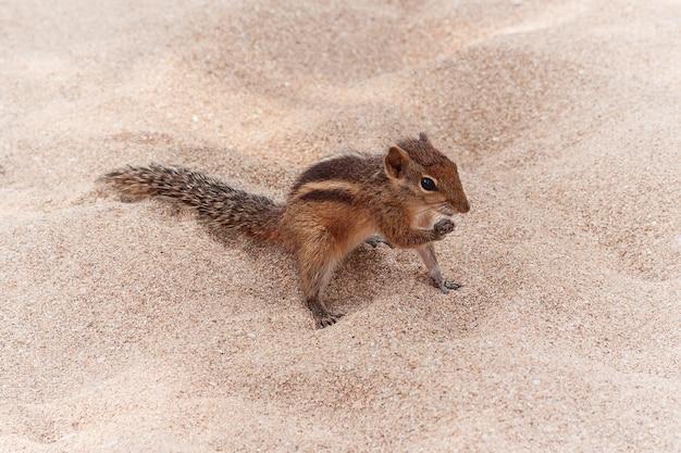 Смешной маленький бурундук на песчаном пляже крайнем крупном плане.