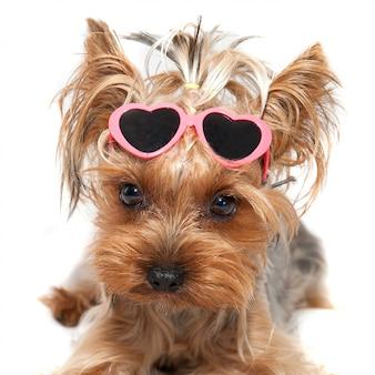 メガネの面白い小さな犬ヨークシャーテリア
