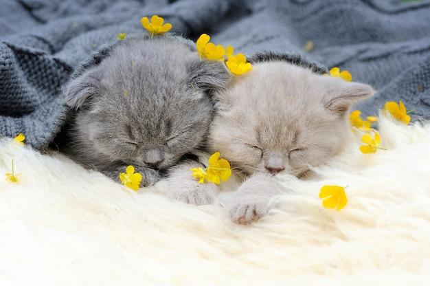 面白い小さな灰色の子猫は白い毛布で寝る