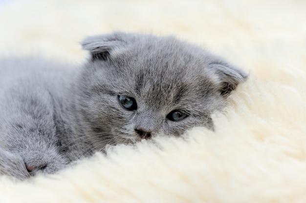 Funny little gray kitten on white blanket