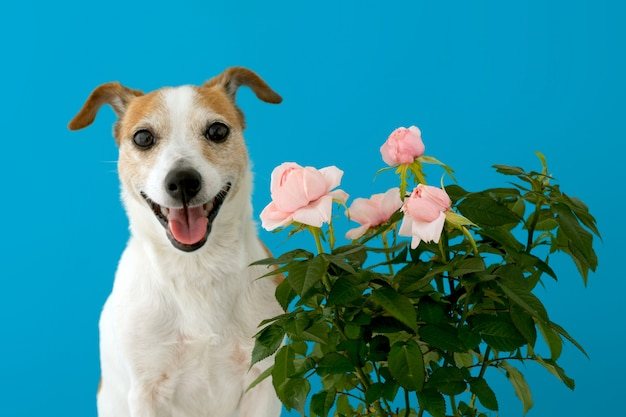 Funny little jack russell terrier with opened mouth standing against blue wall near blooming pink bush roses