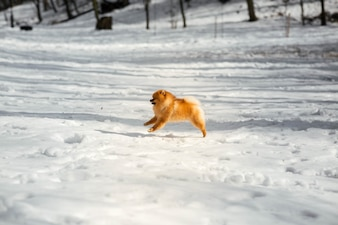 Funny little Pekingese jumps on the snow in winter park