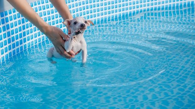 面白い子犬(アメリカンヘアレステリア)がプールで泳ぐことを学ぶ
