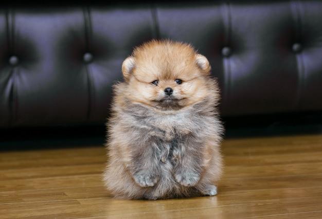 재미있는 작은 강아지의 뒷 다리에 서