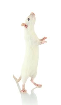 Забавная маленькая крыса, изолированная на белом
