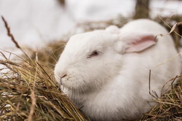 赤い目を持つ面白い小さな白いウサギは干し草に座っています