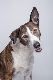 Funny looking dog of podenco ibizan breed