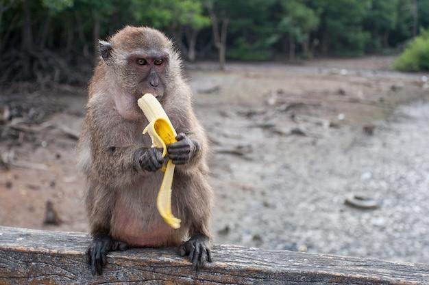 Забавная обезьяна макака ест банан, сидя на перилах