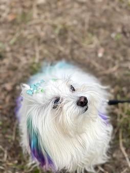 Divertente cane maltese con fili colorati in una passeggiata.