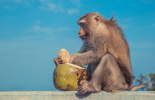 Funny monkey cating a coconut as dessert