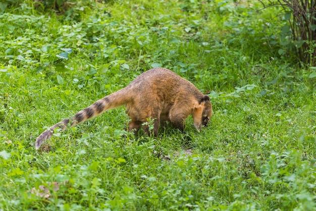 草の上の面白い猿キツネザル。リザーブパークでの動物の生活のコンセプト。