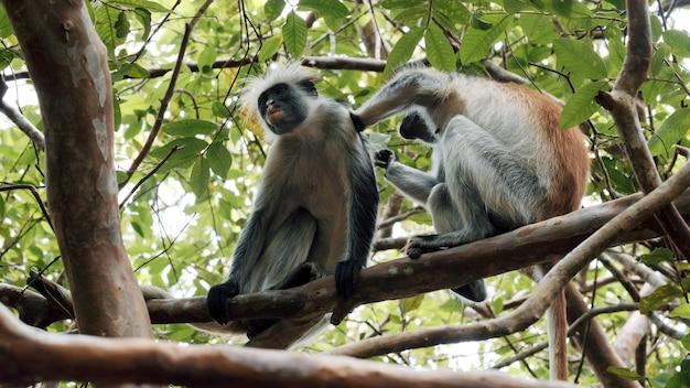 Funny monkey looks for fleas in friend's hair sitting on tree