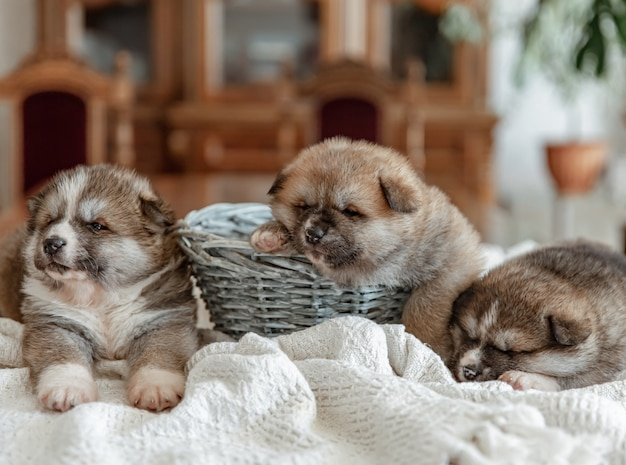 Cuccioli neonati divertenti dormono vicino a un cesto su una coperta.