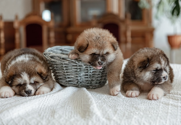 Funny newborn puppies sleep near a basket on a blanket.