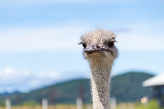 Забавный страус в контактном зоопарке.
