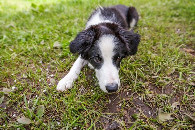 Funny outdoor portrait of cute smilling puppy border collie lying down on grass background
