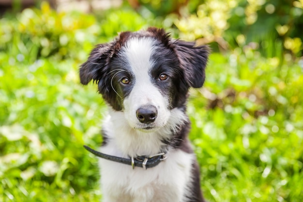 Funny outdoor portrait of cute smilling puppy border collie sitting on grass background