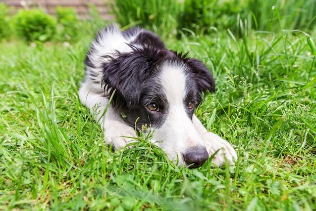 Забавный открытый портрет милого улыбающегося щенка бордер-колли, лежа на траве