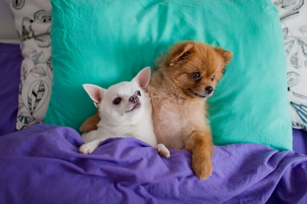 Funny pair of pomeranian puppy with chihuahua puppy lying in bed and hugging