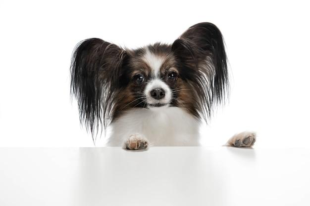 白で隔離される面白いパピヨン犬