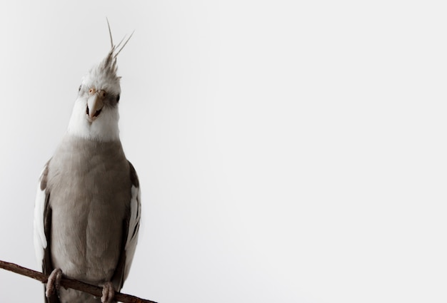Funny parrot corella looks at the camera and sits on a branch place for text