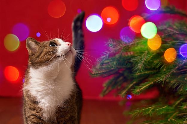 Забавный кот смотрит на цветные огни боке на красном новогоднем фоне